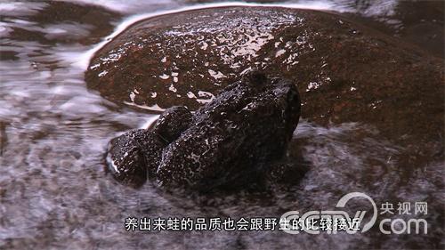 [致富经]胡有恩养石蛙赚百万 带动大家一起靠石蛙赚钱