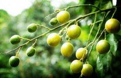 <b>[每日农经]药食同源的黄皮种植效益高</b>