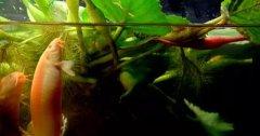 <b>[科技苑]泥鳅池里种菱角 科学搭配效益好</b>