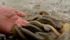 <b>泥鳅亩产量达5000斤!练飞养泥鳅有啥高招?</b>