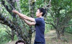 <b>云南龙陵石斛种植斛农生财有道:加工石斛花茶、栽培石斛盆景</b>