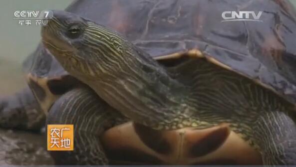 <b>[农广天地]花龟养殖技术视频</b>