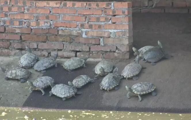 <b>杜成峰养乌龟:异军突起,一只小小的乌龟竟然卖价两万元!</b>