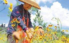 天山雪菊一亩产量120公斤,亩效益达5000元!