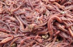 工业废渣养殖蚯蚓的方法