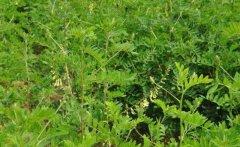 黄芪蛀茎虫的防治方法