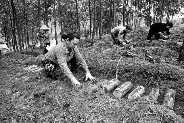 林间空地巧利用 种植天麻一亩收益4万元