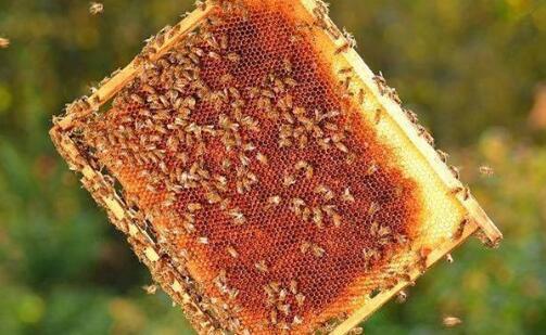 养蜂怎样加础造脾
