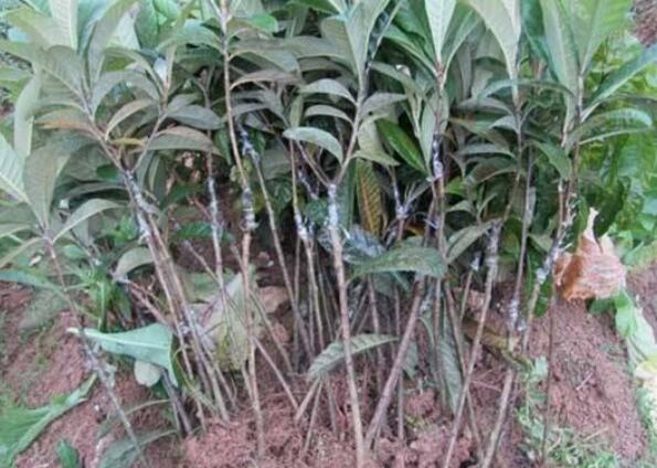 枇杷种子育苗时间和方法及注意事项