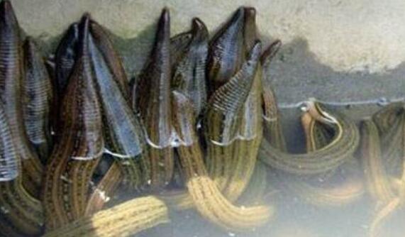 水蛭安全度夏的养殖管理技巧有哪些