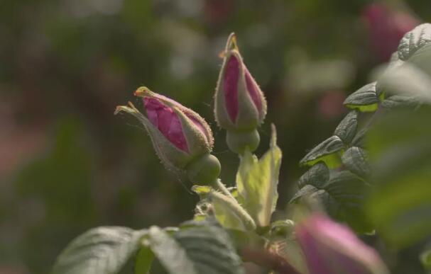 药食同源 什么样的玫瑰花价格最高