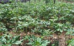 重楼适合种植在杉树林下吗?