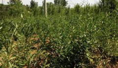 枸杞追施叶面肥产量高、品质好