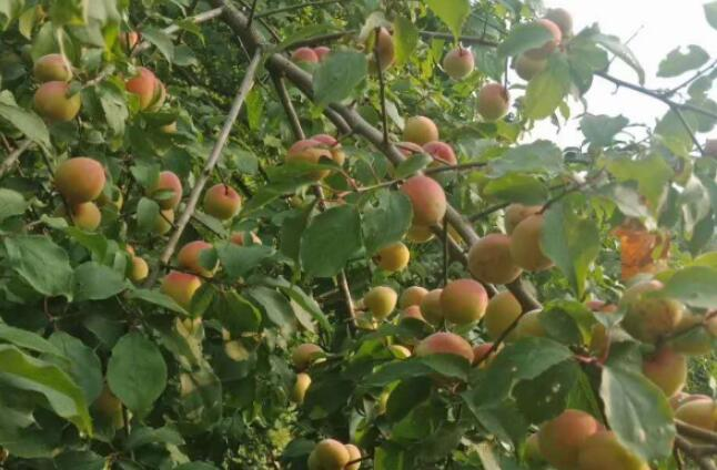 这种果子是药食两用品种,去年2元一斤,今年跌至8毛,明年农户能