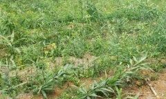 <b>黄精地里的杂草怎样去除?</b>