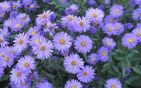 紫菀价滑,未来紫菀行情还会掉价吗?