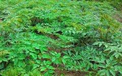 <b>独活种植一亩地的成本和收入是多少,现在种植行情如何?</b>